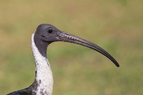 Stachelibis (Threskiornis spinicollis) - Straw-necked ibis - 2