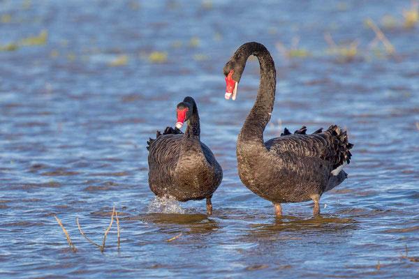 Trauerschwan (Cygnus atratus) - Black swan - 1