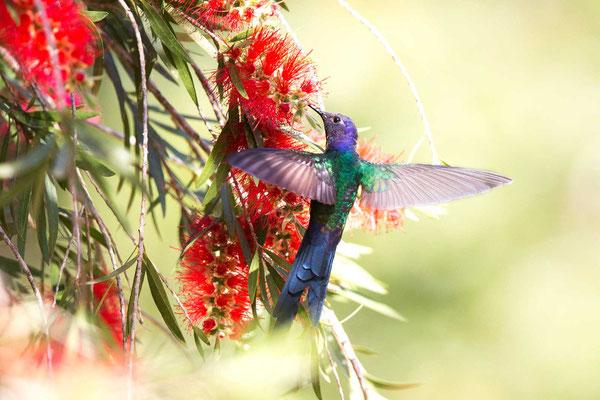 Blauer Gabelschwanzkolibri (Eupetomena macroura); Swallow-tailed Hummingbird - 3