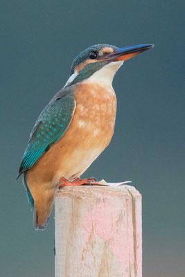 Eisvogel (Alcedo atthis) - 11