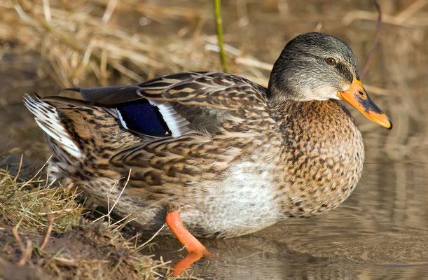 Stockente - 4- Weibchen