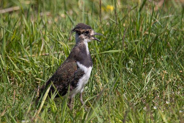 Kiebitz (Vanellus vanellus) - 3