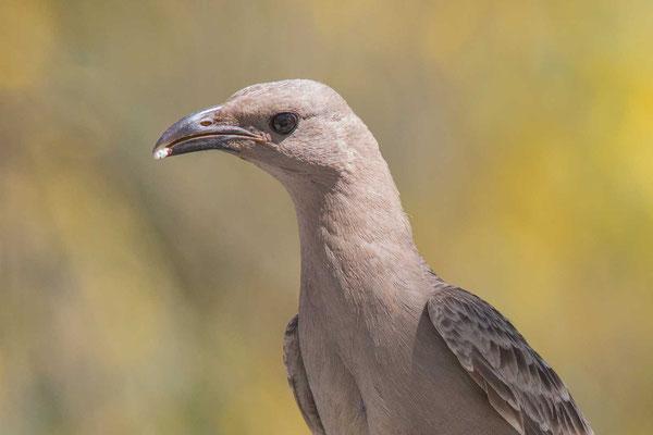 Graulaubenvogel ( Chlamydera nuchalis) - 1