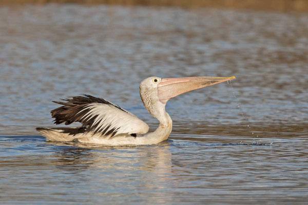 Brillenpelikan (Pelecanus conspicillatus) - Australian pelican - 2