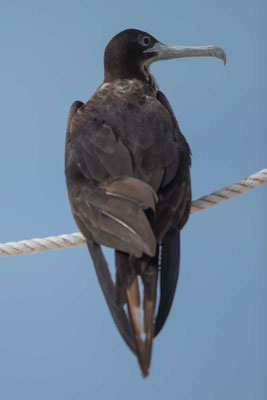 Bindenfregattvogel  Great frigatebird, Fregata minor - 1