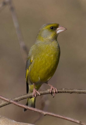 Grünfink (Carduelis chloris) - European greenfinch - 9