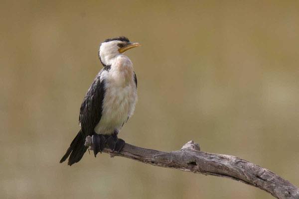 Kräuselscharbe (Microcarbo melanoleucos) - Little pied cormorant - 1