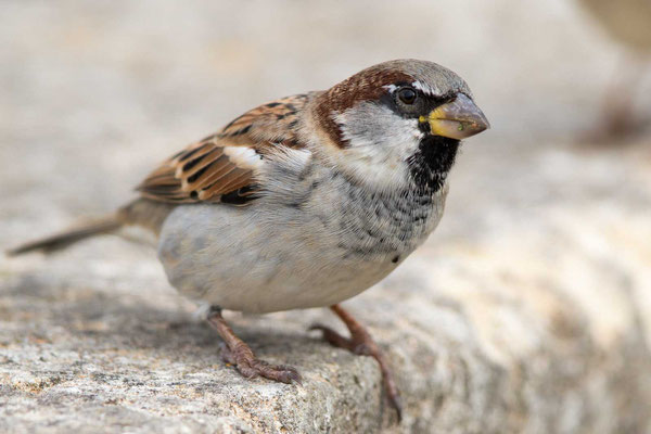 Haussperling (Passer domesticus) – House sparrow - 7
