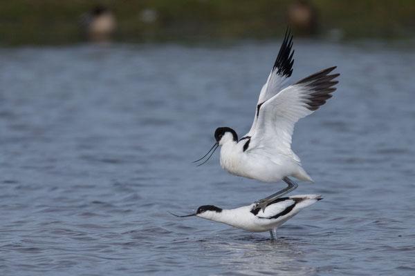 Säbelschnäbler (Recurvirostra avosetta) - 9