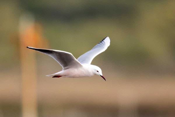Dünnschnabelmöwe, Slender-billed gull, Chroicocephalus genei - 4