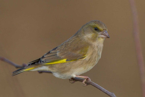 Grünfink (Carduelis chloris) - European greenfinch - 2