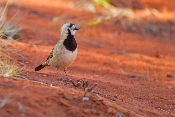 Haubendickkopf, Crested bellbird, Oreoica gutturalis - 2