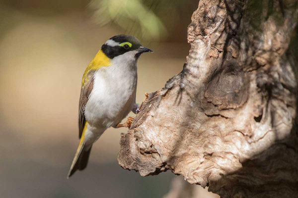 Goldmantel-Honigfresser, Golden-backed Honeyeater, Melithreptus laetior - 1