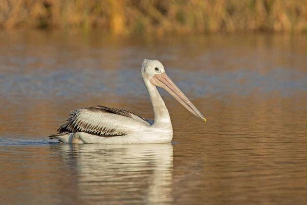 Brillenpelikan (Pelecanus conspicillatus) - Australian pelican - 1