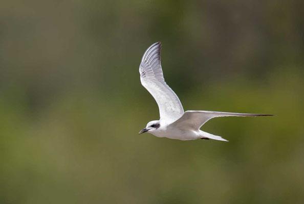 Lachseeschwalbe (Gelochelidon nilotica) - Gull-billed tern - 1