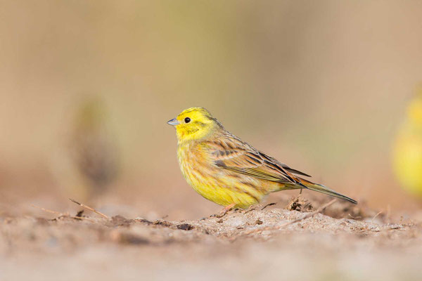 Goldammer (Emberiza citrinella) - Yellowhammer - 2