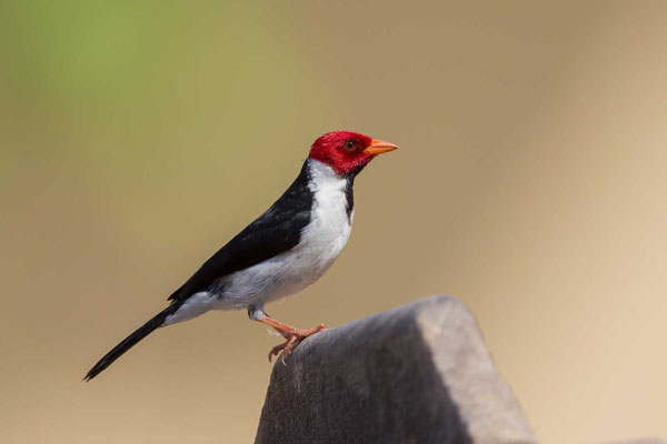 Mantelkardinal (Paroaria capitata) - Yellow-billed Cardinal - 8