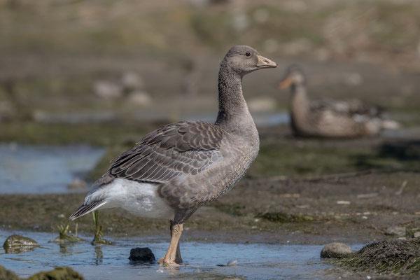 Graugans, Anser anser, Greylag goose - 9
