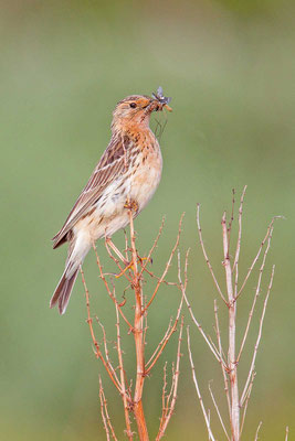 Rotkehlpieper (Anthus cervinus) - Red-throated Pipit - 4
