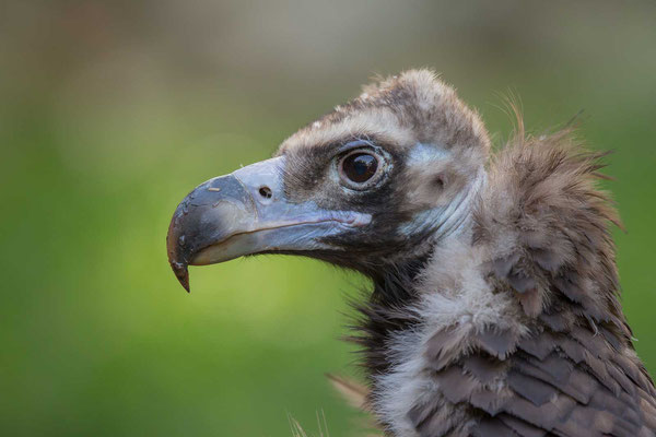 Mönchsgeier (Aegypius monachus) - Cinereous vulture - 1