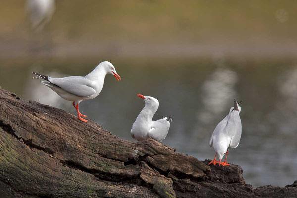 Silberkopfmöwe (Chroicocephalus novaehollandiae) - Silver gull - 11