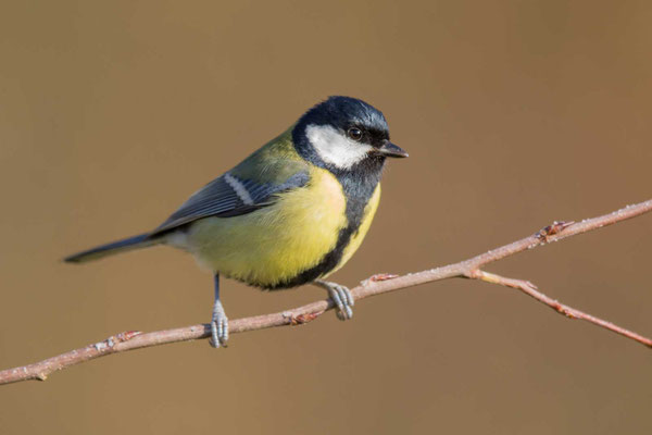 Kohlmeise (Parus major) - 1