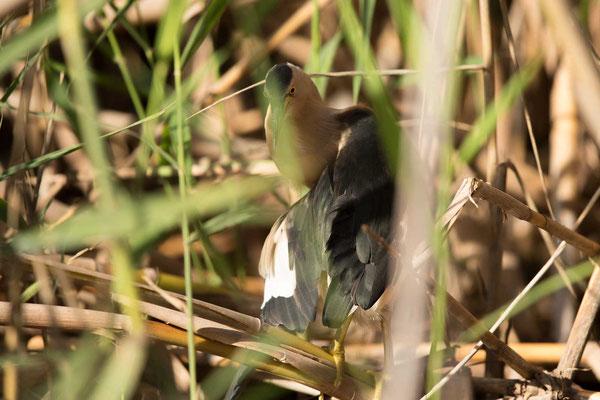 Zwergdommel (Ixobrychus minutus) - Little bittern - 5