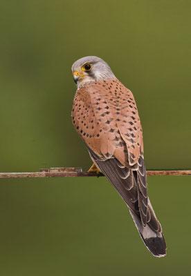 Männlicher Turmfalke (Falco tinnunculus) - 9