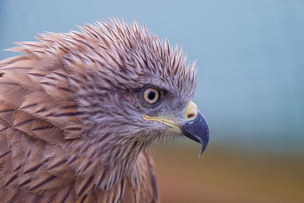 Schwarzmilan,  Black kite, Milvus migrans - 3