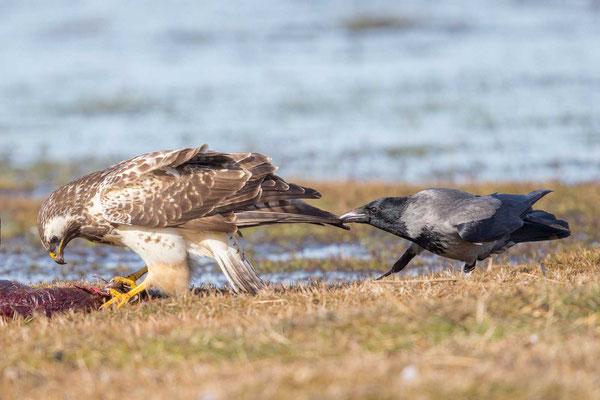 Nebelkrähe (Corvus corone) - 8
