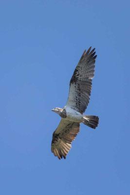 Australischer Fischadler, Eastern Osprey, Pandion cristatus - 1