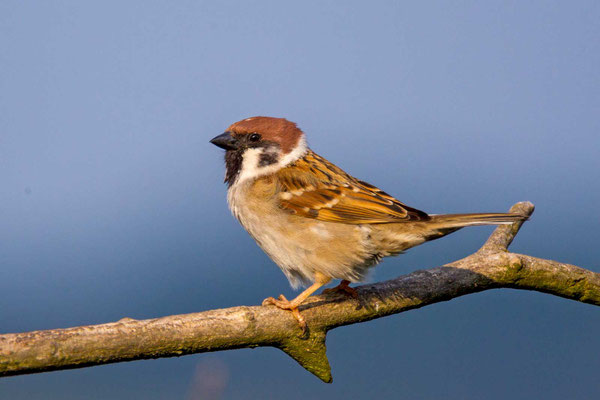 Feldsperling (Passer montanus) - Tree Sparrow - 6
