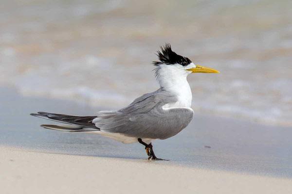 Eilseeschwalbe (Thalasseus bergii) - Greater crested tern - 7