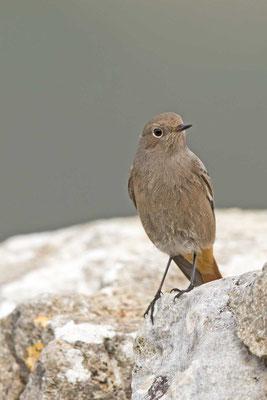 Hausrotschwanz (Phoenicurus ochruros) - Black Redstart - 3