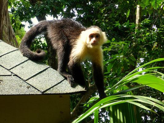 Freche Affen gibt es überall