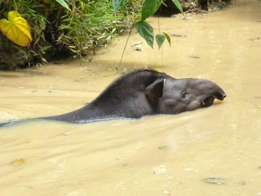 Tapir beim Schwimmen