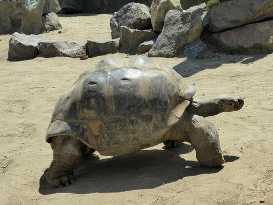 Im Zoo von San Diego leben einige Galapagos Schildkröten