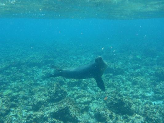 Seelöwe am schwimmen