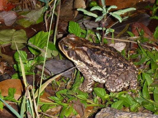 Kröten besiedeln in der Nacht das Gras