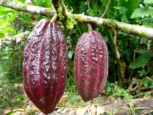 Kakao wächst im Regenwald überall