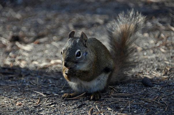 Eichhörnchen besuchen uns überall
