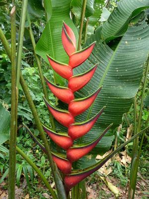 Was für schöne Blumen (falsche Banane)