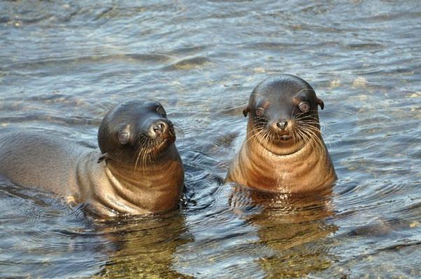 Zwei neugierige Seelöwen die das Spiel unterbrochen haben