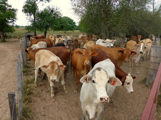 Die Rinder sind an allem interessiert