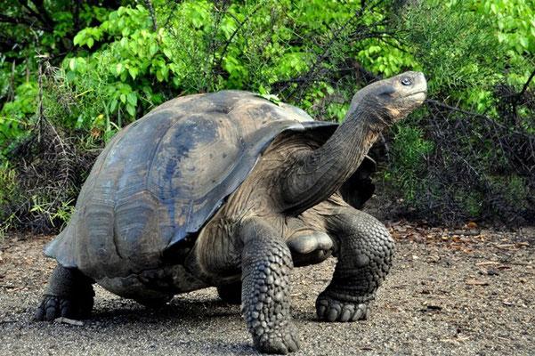 Riesenschildkröte auf Isabela