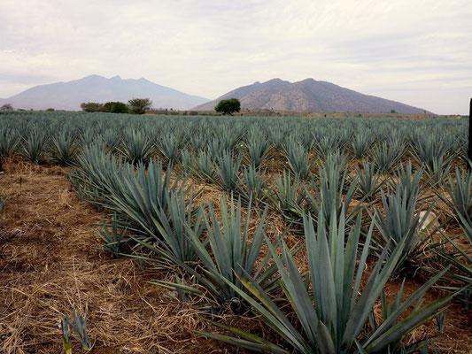 Die blaue Agave ist der Ausgangstoff für die Tequilaproduktion