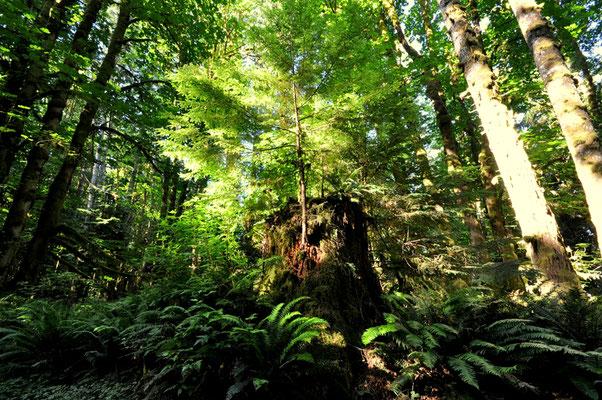 Uralter Wald finden wir auf Vancouver Island