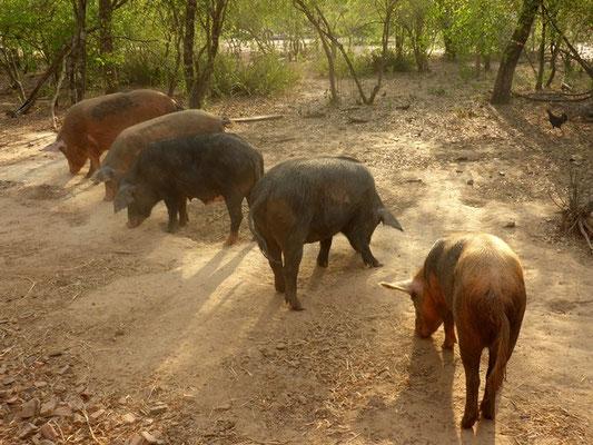 Dies Schweine haben es schön