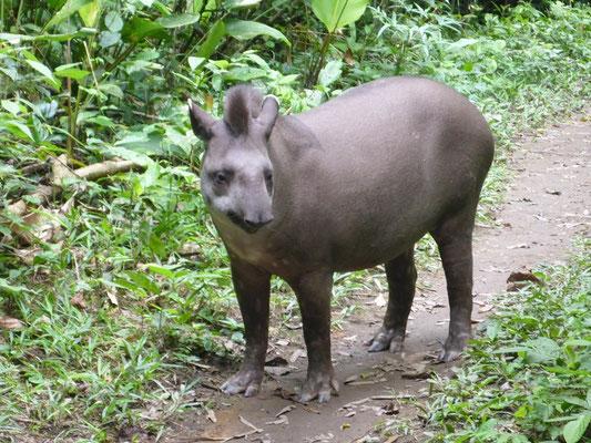Tapir Gordita