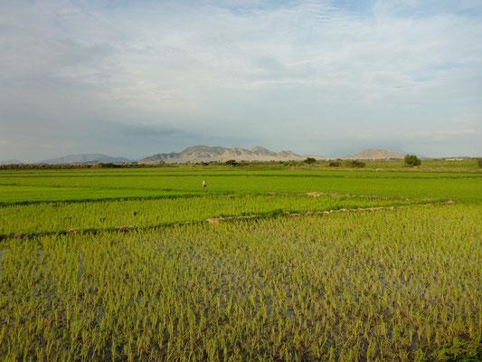 Reisfelder säumen die Panamericana